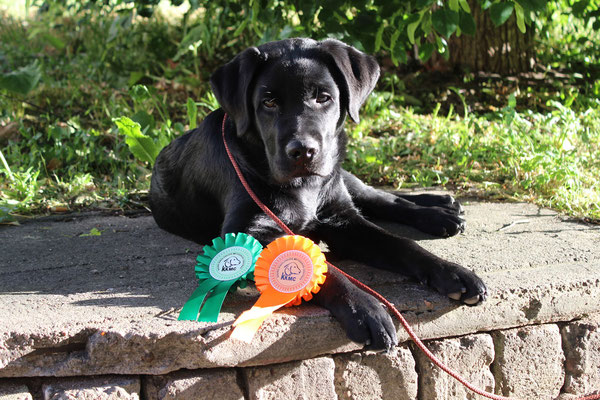 Gilbron Pride Vivaldiko at ~4,5 month with his first show trophies, Kaunas, Lithuania, June 2015
