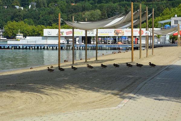 Entenmarsch im Klagenfurter Strandbad