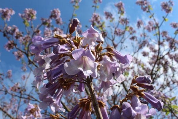diese lila Bäume standen hier in der Gegend häufig, sogar als Straßenbäume