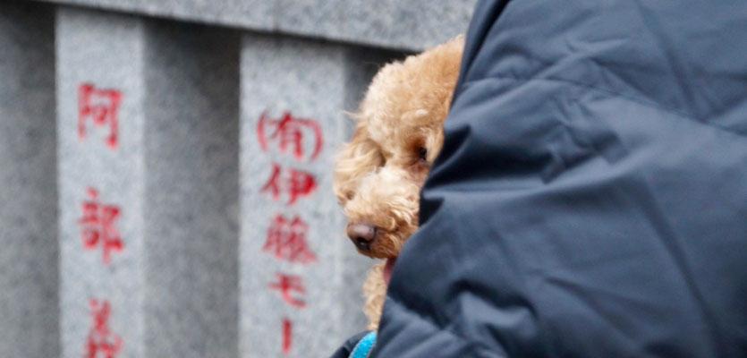 Kawasaki Fertility Festival 2016: Pudel, der Hund Japans