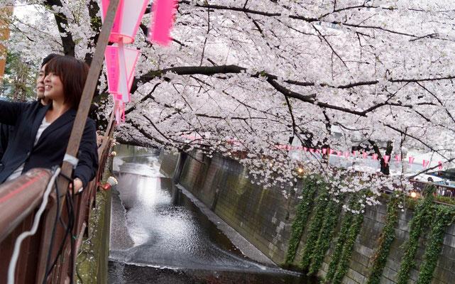 Sakura: Echt (Meguro-gawa)