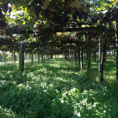 In Galicien pflegt jeder seine eigenen Wein-Reben wie es scheint.
