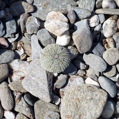 Am Kiesstrand findet man sogar Seesterne