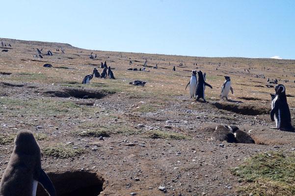 Isla Magdalena: Pinguine so weit das Auge blickt