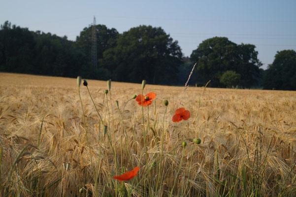 Die Morgensonne taucht Mohn und Getreide in ein schönes Licht