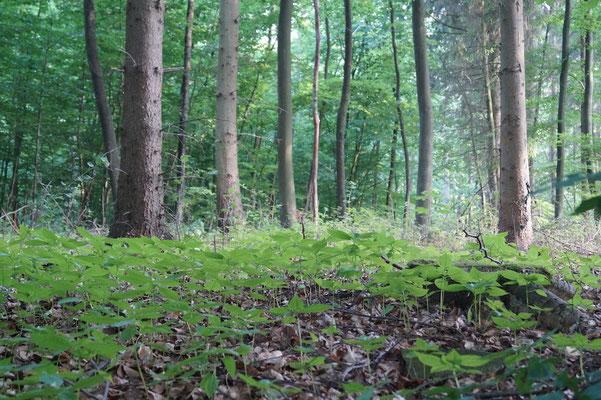 Der Elberadweg zwischen Geesthacht und Lauenburg führt durch den Wald: Dies war der schönste und zugleich anstrengendste Abschnitt der Tour.