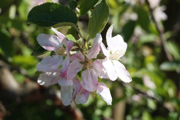 Das Alte Land: Die Apfelblüte