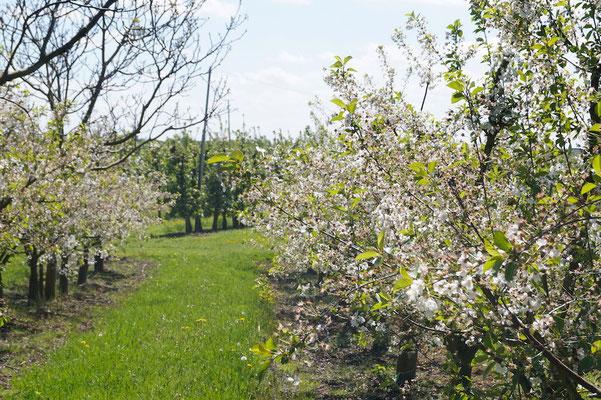 Apfelblüte so weit das Auge reicht