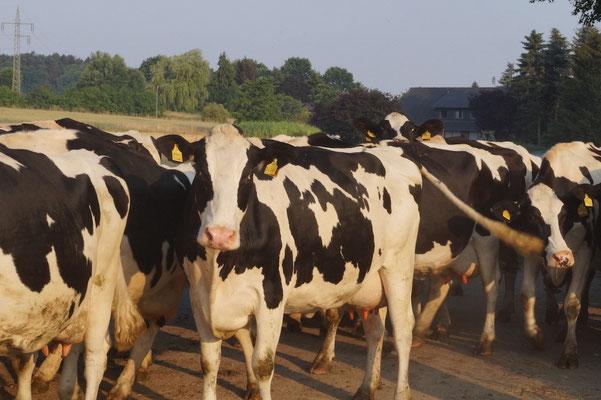 Morgens um halb 7 im Wendland: Die Kühe werden auf die Weide getrieben.