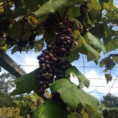 Und immer wieder Weintrauben: Herrlich süß und fruchtig.