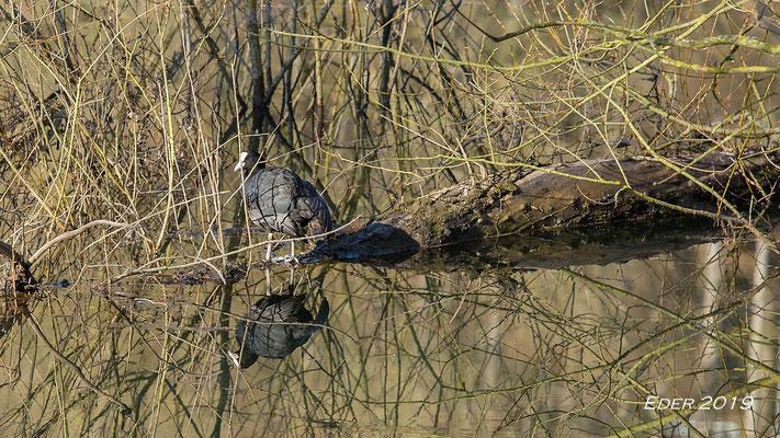 überall Wasservögel