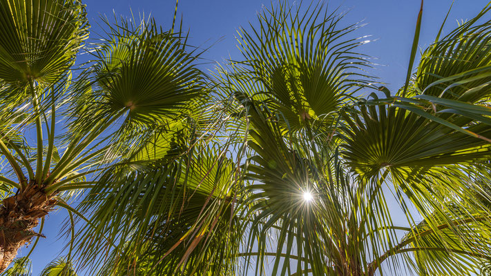 Palmen bei Costa Calma