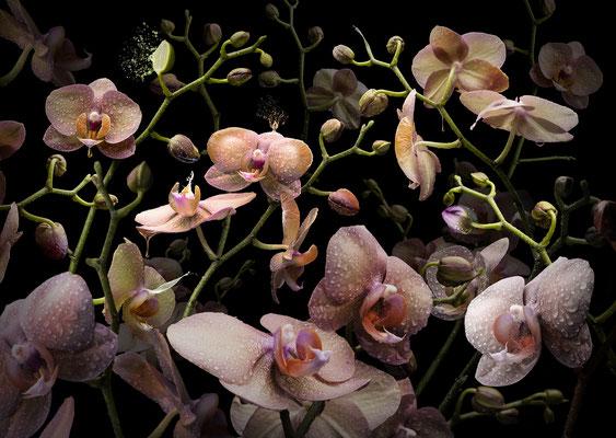 Orchidea mandarina · © Olaf Bruhn 2017