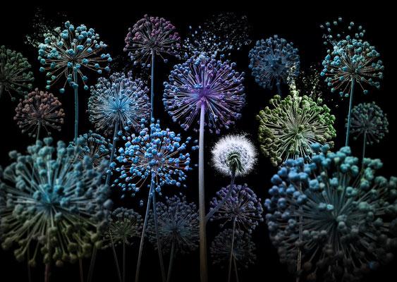 Allium fantasia · © Olaf Bruhn 2017