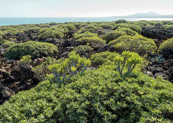 Küstenvegetation bei Orzola