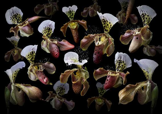 Orchidea ocarina · © Olaf Bruhn 2016