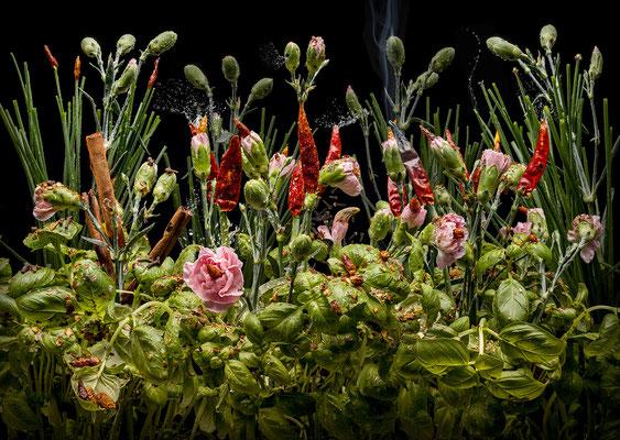 Dianthus aromaticus © Olaf Bruhn 2018