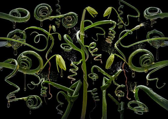 Albuca spiralis · © Olaf Bruhn 2017
