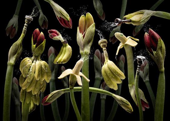 Amarylla tropicana · © Olaf Bruhn 2017