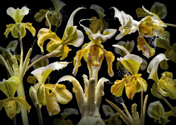 Orchidea Asparagus © Olaf Bruhn 2018