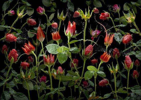 Fragaria rosales · © Olaf Bruhn 2019