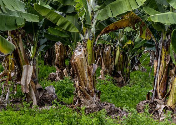 Bananenplantage bei Telde