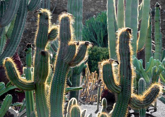 Jardín de Cactus, Guatiza