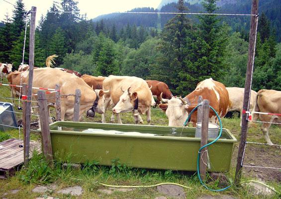 Ein Teil der grossen Kuhherde auf der Alp