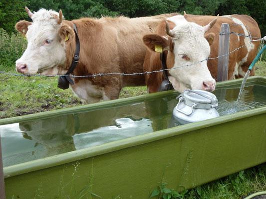 Kühe an der Tränke vor der Sennhütte