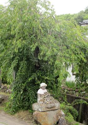 長命寺前の垂桜