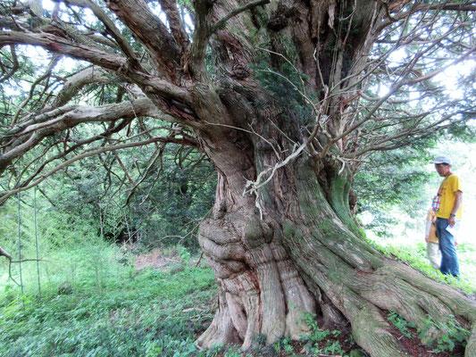 神樹榧の木の雪