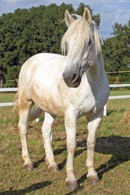 Cheyenne, seit 2000 in Privatbesitz auf dem Wiesenhof, lief vor ihrer Rente Ende 2014 noch einige Jahre bei uns im Schulbetrieb.