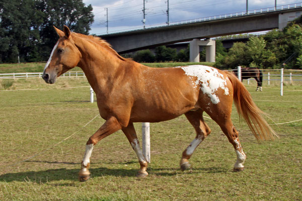 Cochise, 1997 geboren, hatte aus gesundheitlichen Gründen nur ein kurzes Gastspiel auf dem Wiesenhof. Von März 2014 bis April 2015 war er bei uns, dann musste er uns leider verlassen.