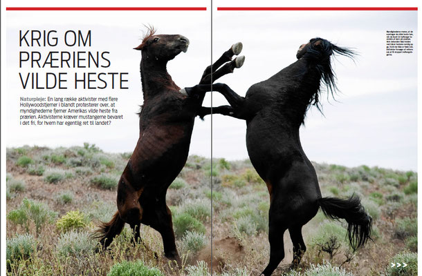 Wild horses are being rounded up by the government in the Western US and animal activists are crying foul.