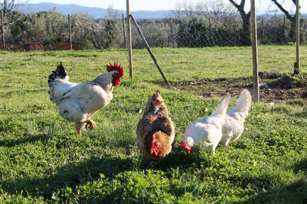 Febbraio: polli ruspanti