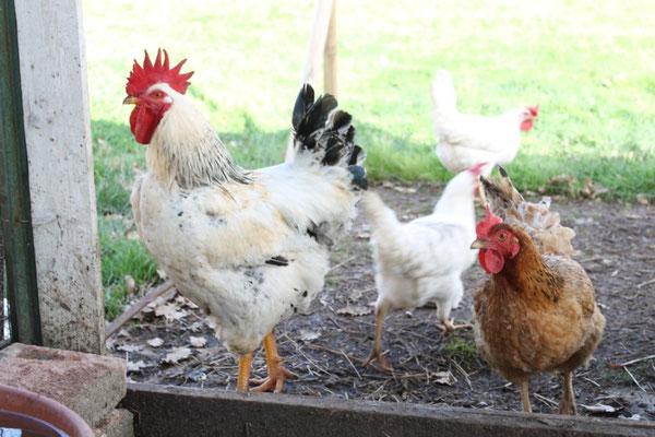 Marzo: Ettore, il gallo