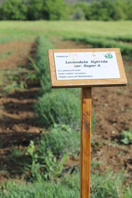 Aprile: cultivar di lavanda