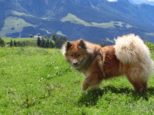 Ronja auf der Alm (Tirol, Juni 2016)