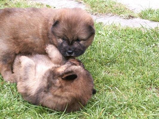Shiwa (oben) mit Schwester Bella, 3 ½  Wochen