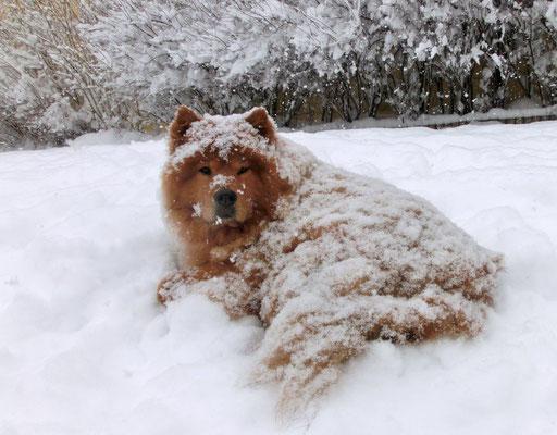 Schneebär Shiwi (Jänner 2013)