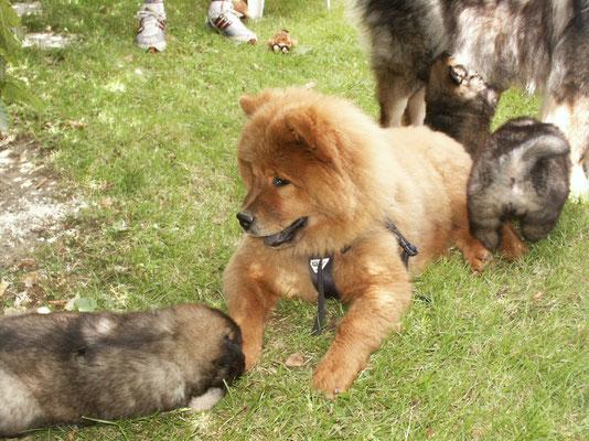 Shiwa und die B-Welpen vom Amselgarten (August 2002)