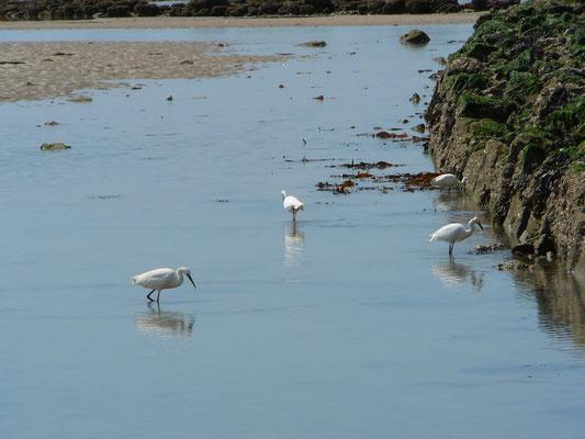 Witte reigers op Noirmoutier