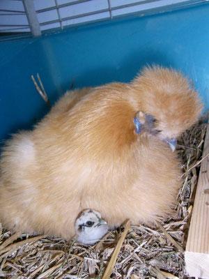 ab und zu lassen wir eine Henne Küken ausbrüten