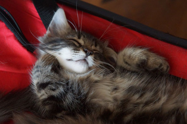 gemütliches Ausschlafen auf dem Transportkorb nach dem Tierarztbesuch