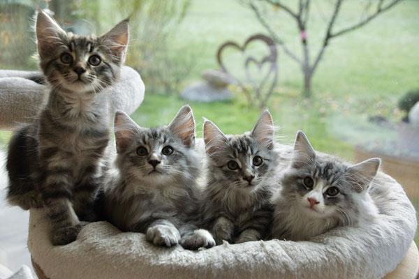 Katzenschar mit 12 Wochen