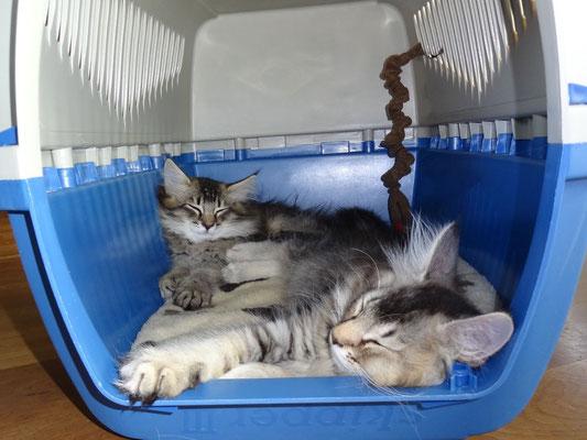 11 Wochen alt, sie schlafen in der Transportbox