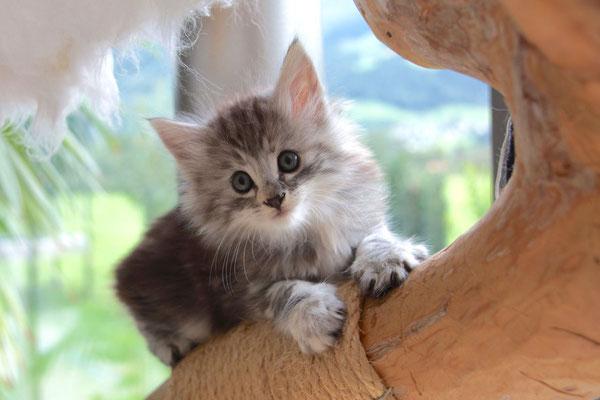 schon weit oben auf dem Katzenbaum.... 7.5 Wochen