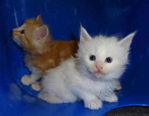 Dingo & Dajan, knapp 5 Wochen alt, 25.11.17