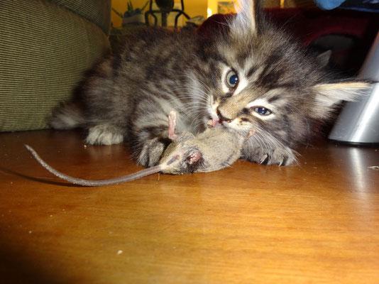 verspeist mit 5.5 Wochen seine erste Maus… 11.10.14
