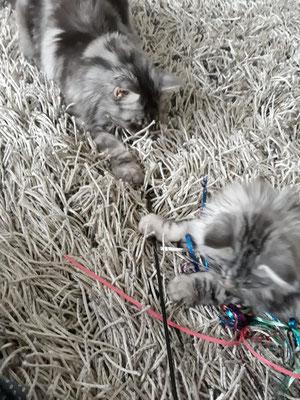 Katzengspändli Lexi und er können nach ein paar Tagen bereits miteinander spielen